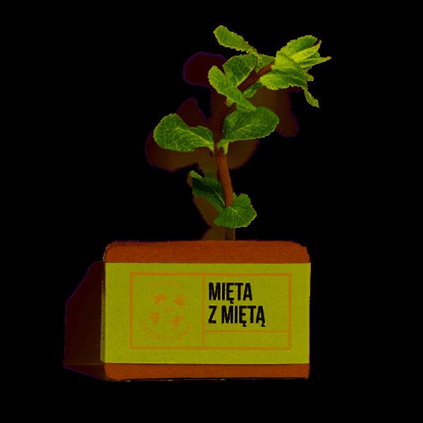 4szpaki-mieta-z-mieta